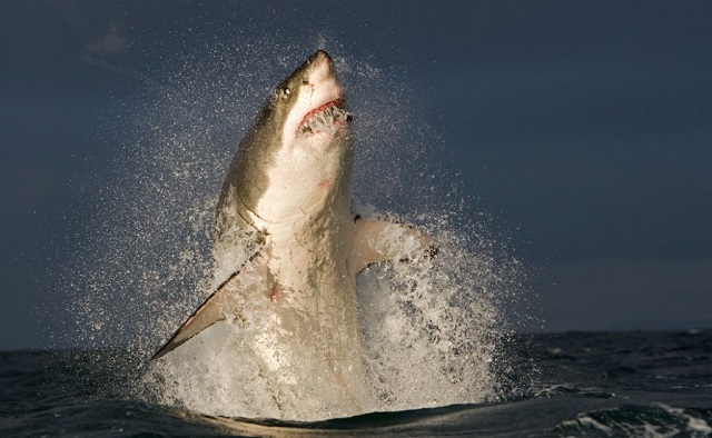 VIDEO: Great White Shark jumps out of the water in front of